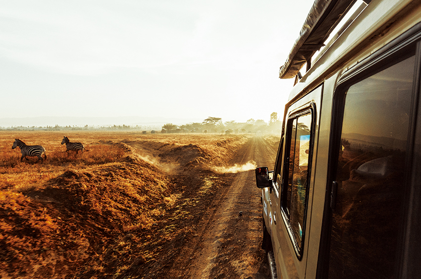 [photo] Truck side view of an evening drive on dirt road with Zebras on running on the side of the road