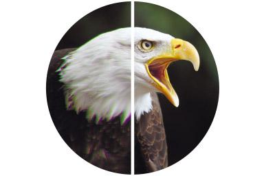 [foto] Retrato dividido em dois de águia-branca em voo circular, com parte da imagem rica em contraste à esquerda