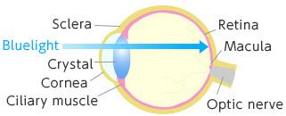 [immagine] La luce blu entra nell'occhio e raggiunge la macula dell'occhio