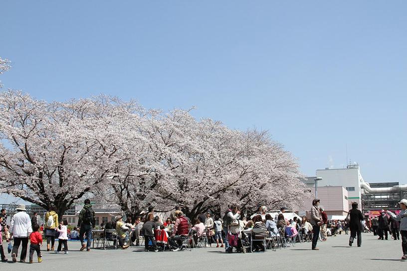 [画像]満開の桜