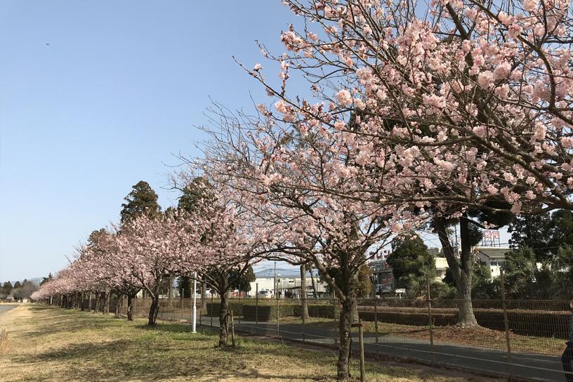 [画像]春めき桜