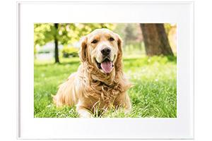 [photo] A framed picture of a dog laying on green grass