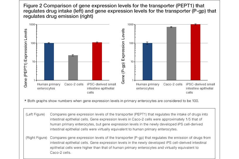 [Figure2] Comparison of gene expression levels for the transporter (PEPT1) that regulates drug intake (left) and gene expression levels for the transporter (P-gp) that regulates drug emission (right)