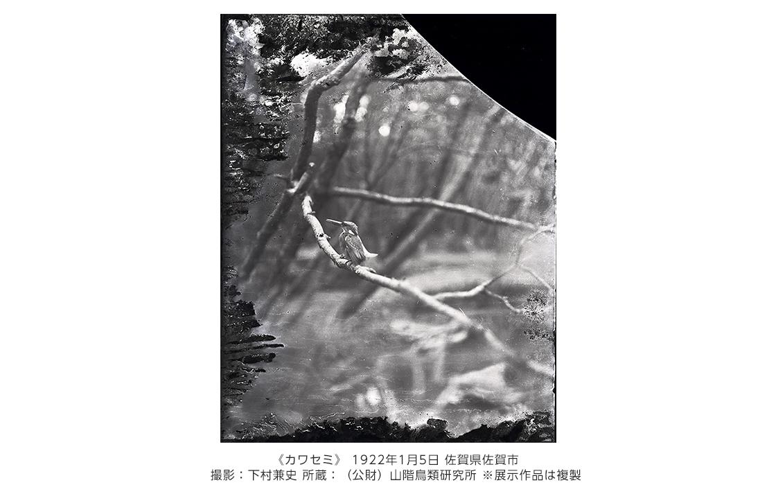 [写真]《カワセミ》 1922年1月5日 佐賀県佐賀市 撮影:下村兼史
