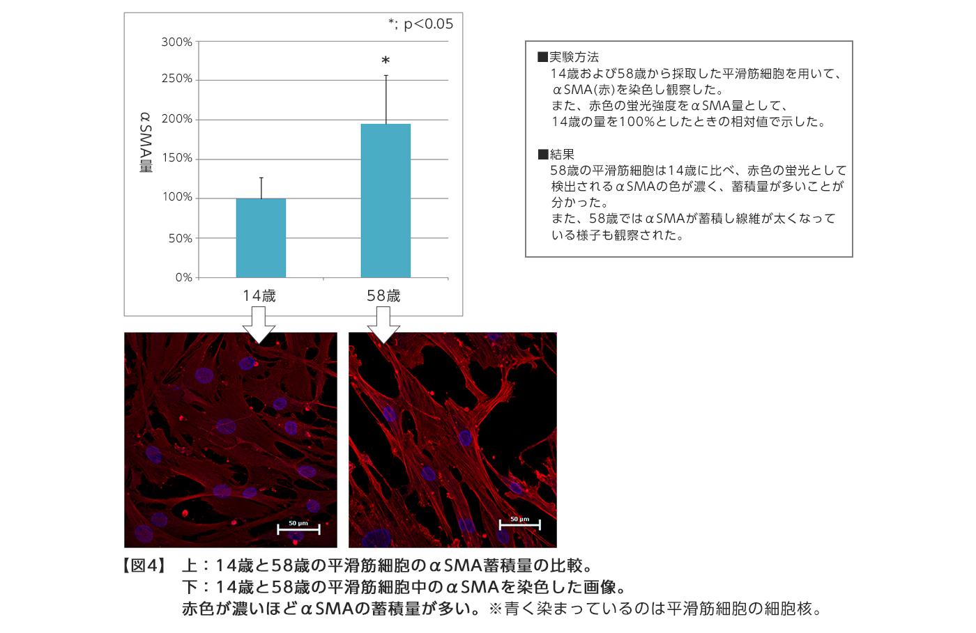 【図4】上:14歳と58歳の平滑筋細胞のαSMA蓄積量の比較。 下:14歳と58歳の平滑筋細胞中のαSMAを染色した画像。 赤色が濃いほどαSMAの蓄積量が多い