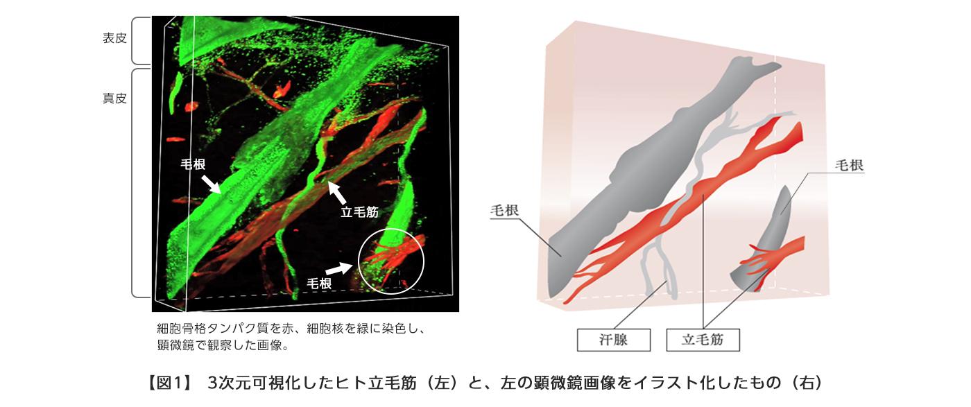 【図1】 3次元可視化したヒト立毛筋(左)と、左の顕微鏡画像をイラスト化したもの(右)