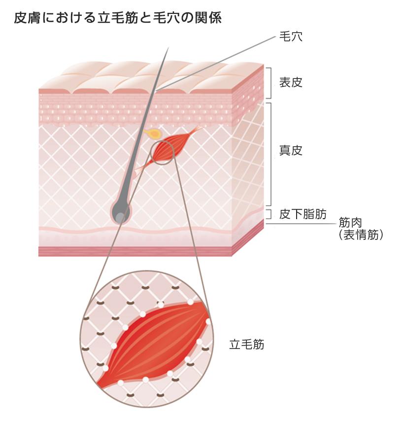 [画像]皮膚における立毛筋と毛穴の関係