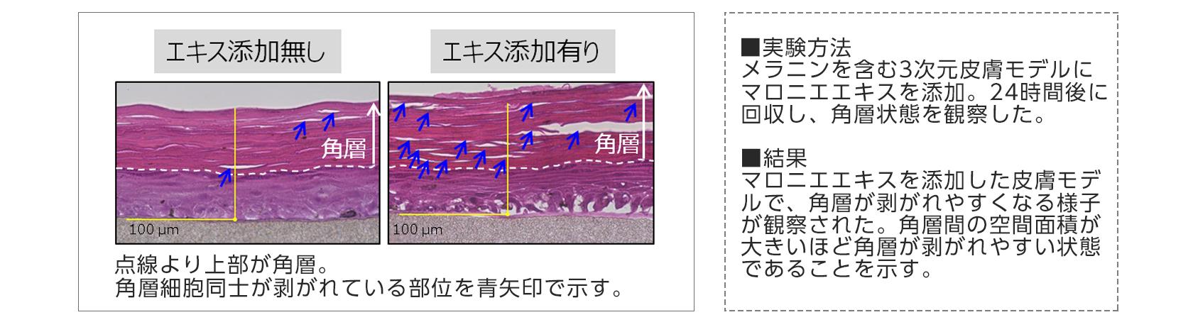 【図7】マロニエエキスの角層剥離促進作用