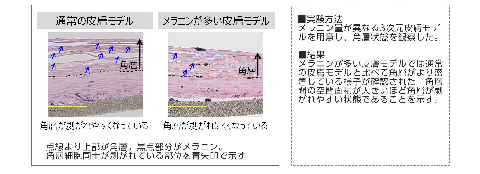 【図3】メラニン量が異なる皮膚モデルにおける角層の剥がれやすさ比較