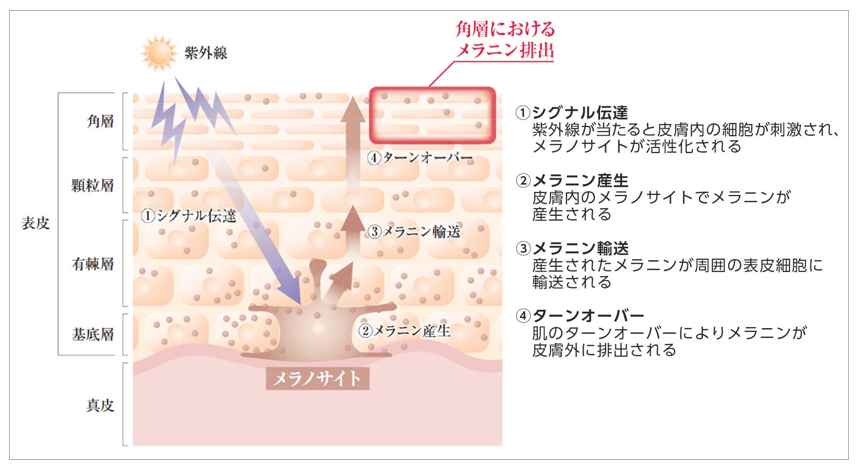 【図1】皮膚におけるメラニンの産生・代謝過程