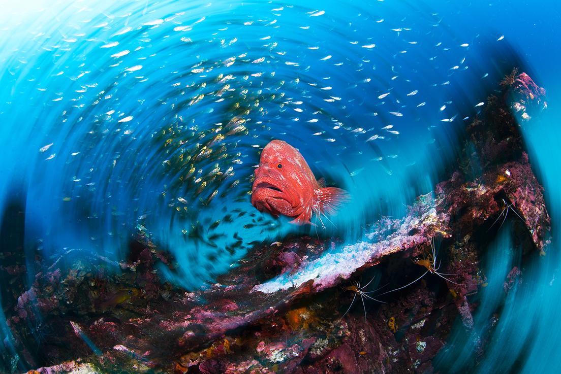 (1)「海流が育むいのち」 より 黒潮に生きるアザハタ © ITARU TAKAKU