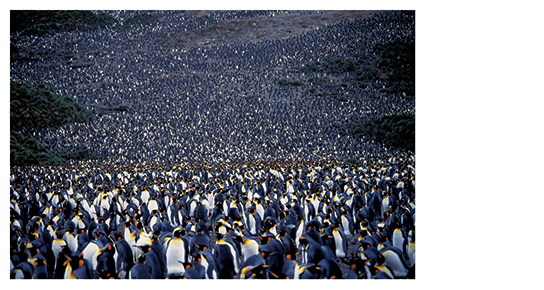 [写真]田中光常「オウサマペンギン サウスジョージア島」 1992年