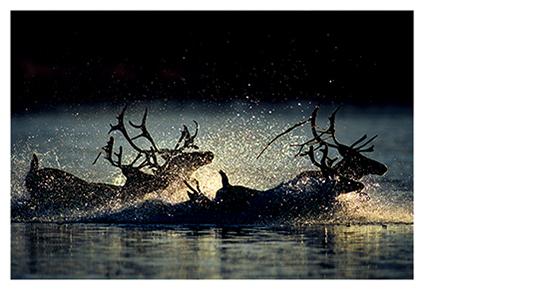 [写真]星野道夫「夕暮れの河を渡るカリブー」 1988年頃