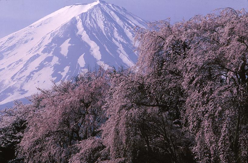 [画像]山梨県勝山村(現富士河口湖町)から「桜と富士」、 撮影:竹内敏信