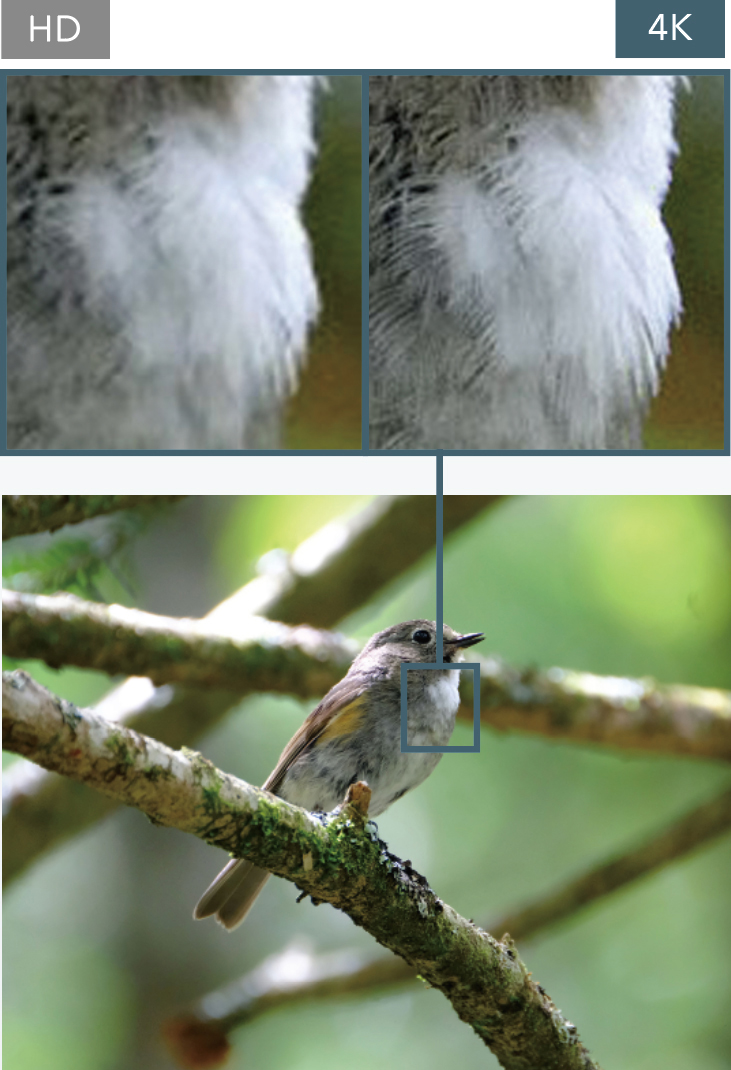 [photo] Zoomed in example of HD versus 4K resolution comparison of the chest feathers of a small bird