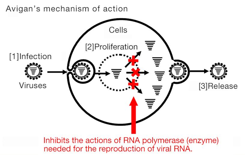 [Image]Avigan's mechanism of action