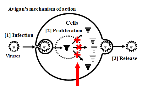 Image of a graphic explaining Avigan's mechanism of action: (1) infection, (2) cells proliferation, (3) release.